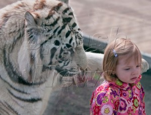 Avery Thompson and Bengal Tiger
