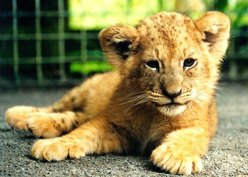 Lion Cub Gets Special Treatment From 2 New Zealand Kids  Growing