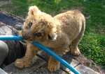 Chase the lion cub