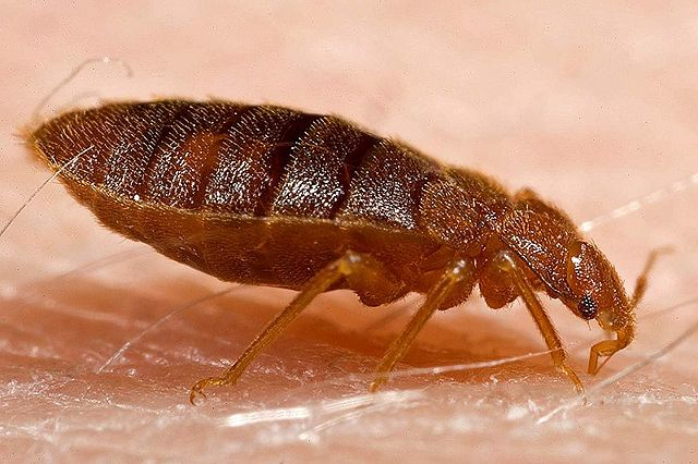 adult bedbug