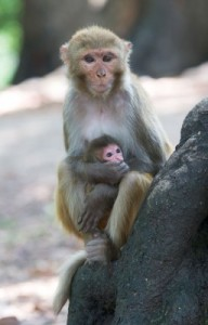 Rhesus Macaque monkeys