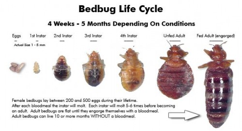 Bed Bug Lifecycle Stages Growing Your Baby
