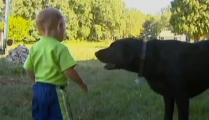 black lab saved toddler from drowning