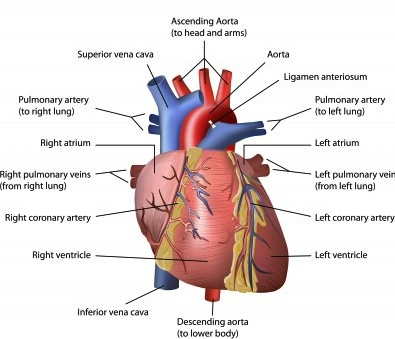 anatomy of the heart - Growing Your Baby
