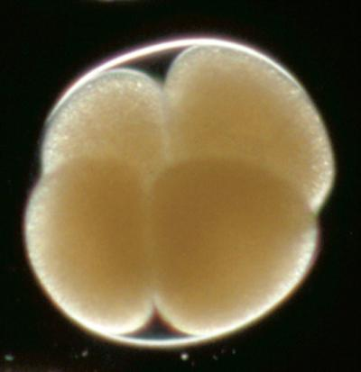 embryo harvesting and freezing A human embryo at 40 days:  the delay caused by freezing may also give the woman's body – including the delicate lining of her womb.
