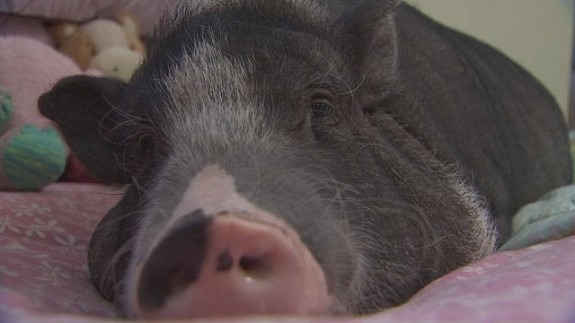Therapy Pig Maggie