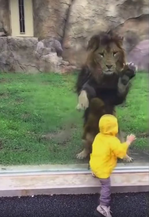 Lion wants to play with toddler