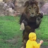 Video Captures Lion at Tokyo Zoo Trying To Pounce On Toddler