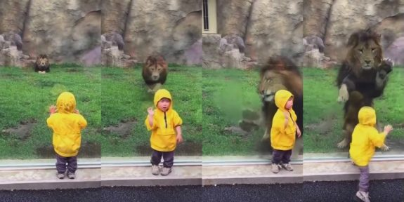 lion pounces on toddler