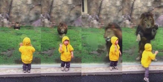 lion pounces on toddler