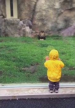 toddler visiting with lion at Tokyo zoo