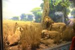 American Museum Of Natural History - Akeley Hall of African Mammals - African Lions