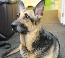 Beautiful Baby Jade Named after Hero German Shepherd that Found Her Abandoned in Park
